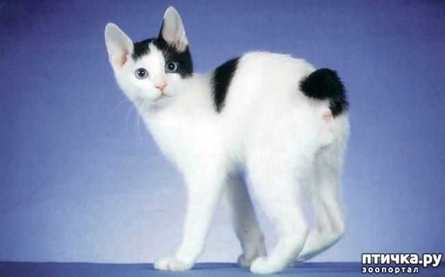 фото 2: Породы кошек, выведенные в Японии