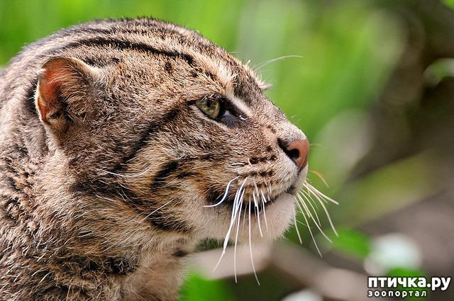 фото 5: Породы кошек, выведенные в Японии