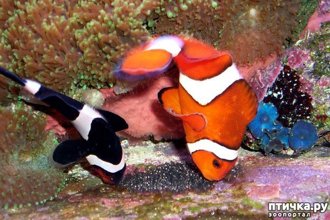 фото 4: Как и почему меняют пол рыбы