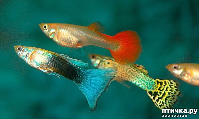 фото 3: Как и почему меняют пол рыбы