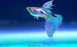 фото: Как и почему меняют пол рыбы
