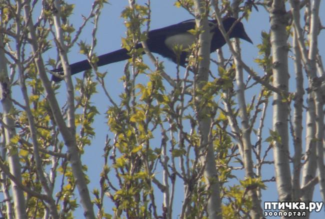 фото 6: Сороки - птицы особенные