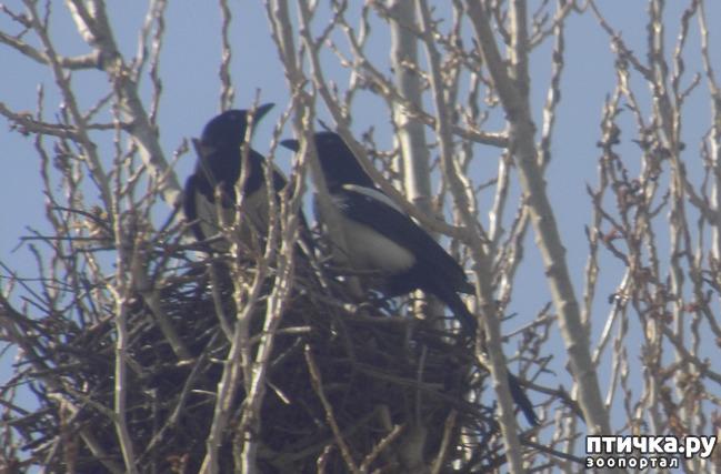 фото 7: Сороки - птицы особенные