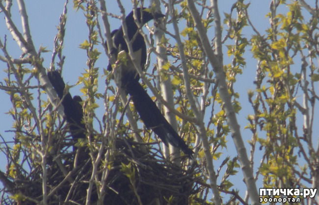 фото 8: Сороки - птицы особенные