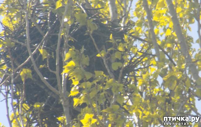 фото 9: Сороки - птицы особенные