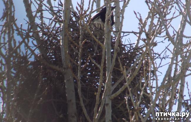 фото 4: Сороки - птицы особенные