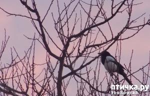 фото: Сороки - птицы особенные