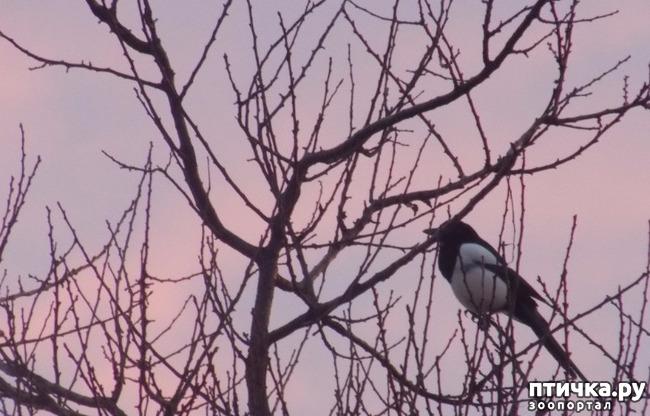 фото 1: Сороки - птицы особенные