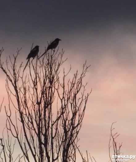 фото 2: Сороки - птицы особенные