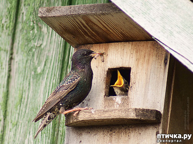 фото 5: Скворцы - вестники весны!