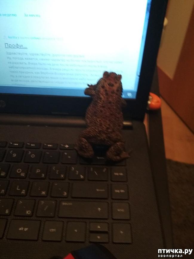 фото 1: Чернорубцовая жаба с нами уже месяц!