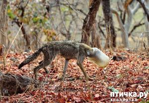 фото: Волк с банкой на голове чудом был спасён
