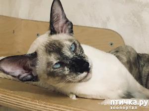 фото: Красавица кошка, сиамская кошка