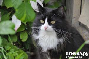 фото: Как кот заставил своего хозяина бросить пить. Реальная история от Юрия Куклачева)