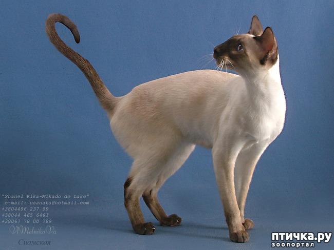 фото 9: Загибы на кончиках хвостов у сиамских кошек