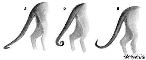 фото 1: Загибы на кончиках хвостов у сиамских кошек