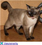 фото 2: Загибы на кончиках хвостов у сиамских кошек