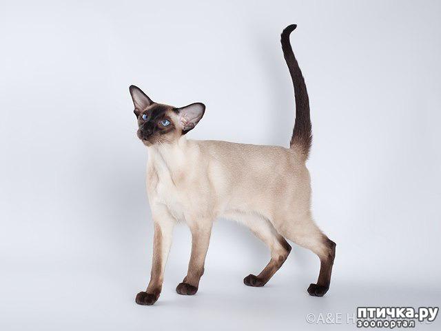 фото 6: Загибы на кончиках хвостов у сиамских кошек