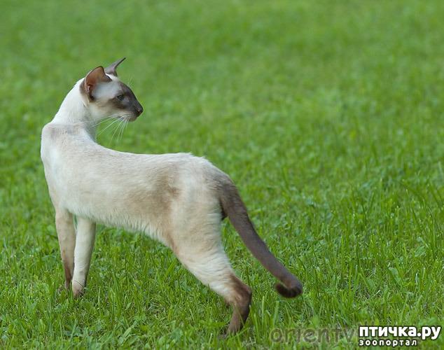 фото 7: Загибы на кончиках хвостов у сиамских кошек