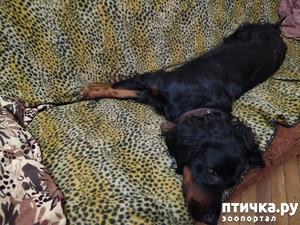 фото: Хвостик на подушке, на простыне ушки... Фани спит
