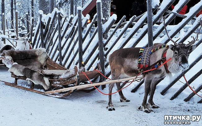 фото 4: Северный олень. Транспорт Санта-Клауса и не только