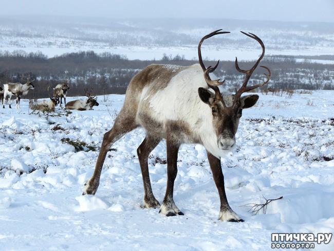 фото 3: Северный олень. Транспорт Санта-Клауса и не только