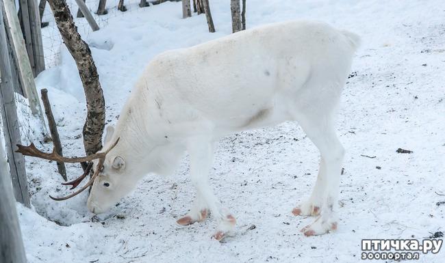 фото 5: Северный олень. Транспорт Санта-Клауса и не только