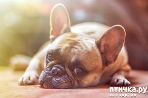 фото: Французский бульдог - кому подойдет такая собака.