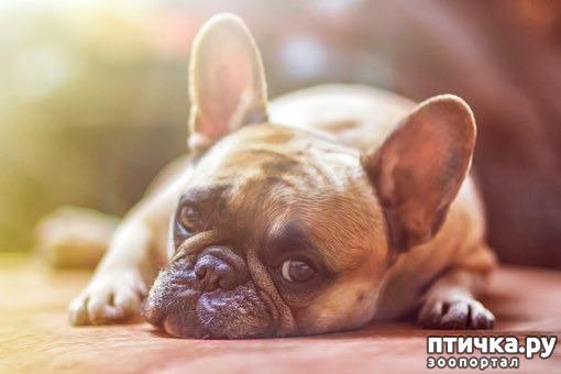 фото 1: Французский бульдог - кому подойдет такая собака.