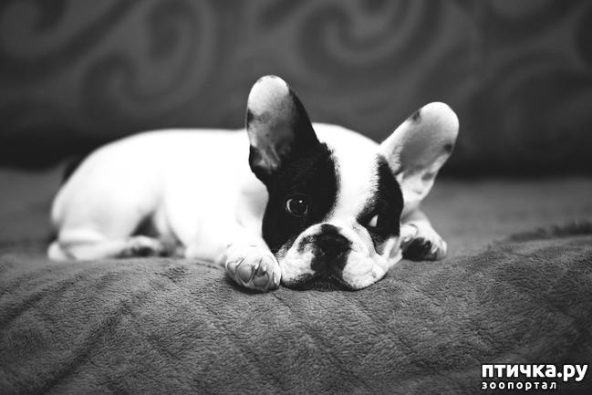 фото 4: Французский бульдог - кому подойдет такая собака.