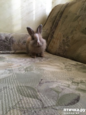 фото: Вязка, самец, декоративный кролик, ангорка