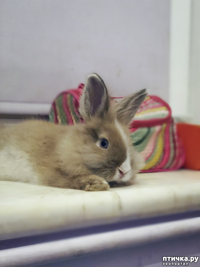 фото 2: Вязка, самец, декоративный кролик, ангорка