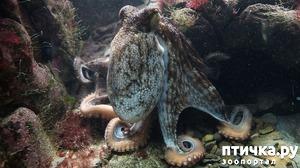 фото: Немного об осьминоге