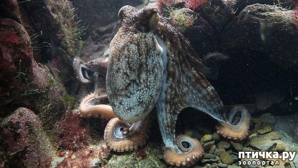 фото 1: Немного об осьминоге