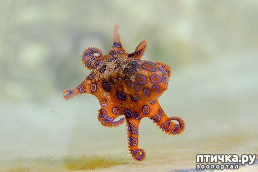 фото 3: Немного об осьминоге