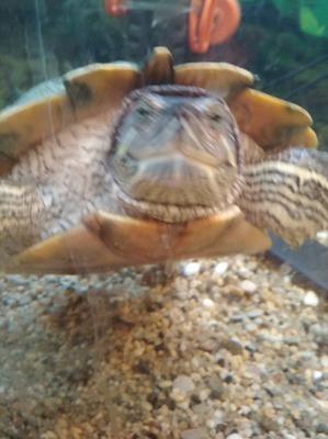 фото: Чем кормить водяную черепаху