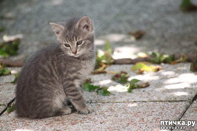 фото 2: Большое сердце серого кота Аякса