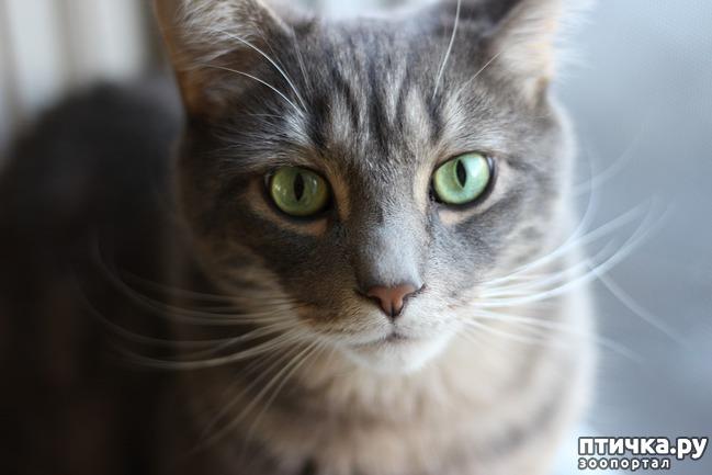 фото 3: Большое сердце серого кота Аякса