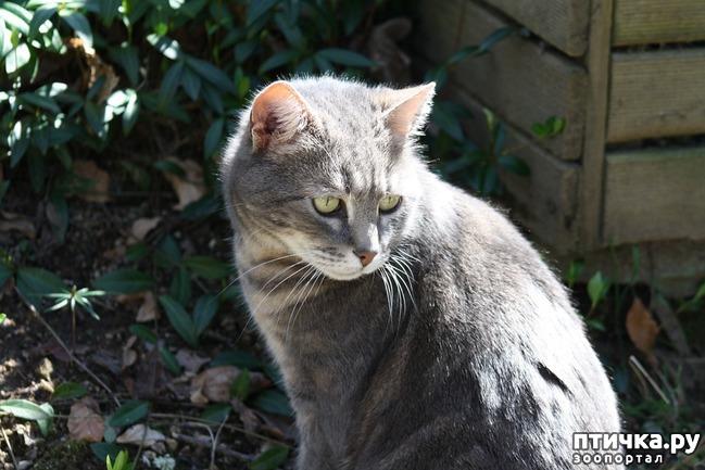 фото 4: Большое сердце серого кота Аякса