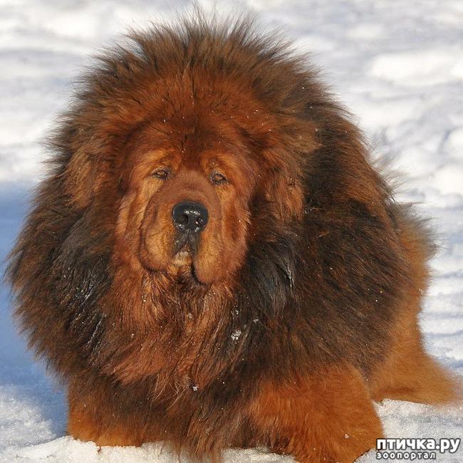 фото 3: Тибетский мастиф - кому подойдет порода
