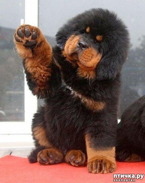 фото 5: Тибетский мастиф - кому подойдет порода