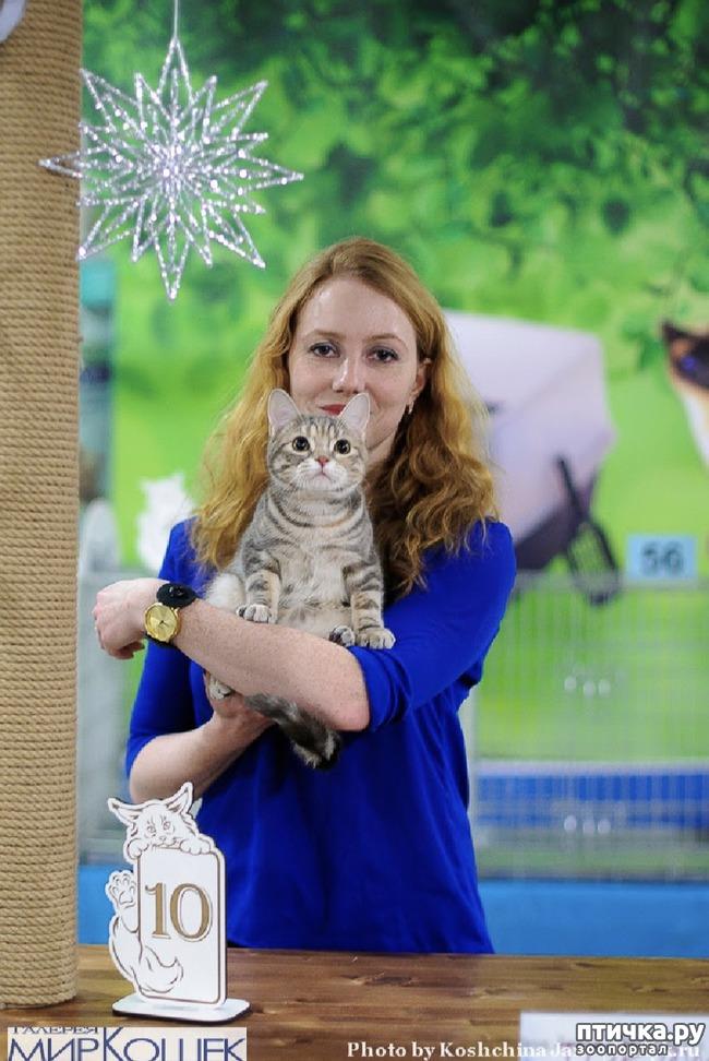 фото 3: Выставка TICA в Галерее Мир кошек 2-3 февраля.