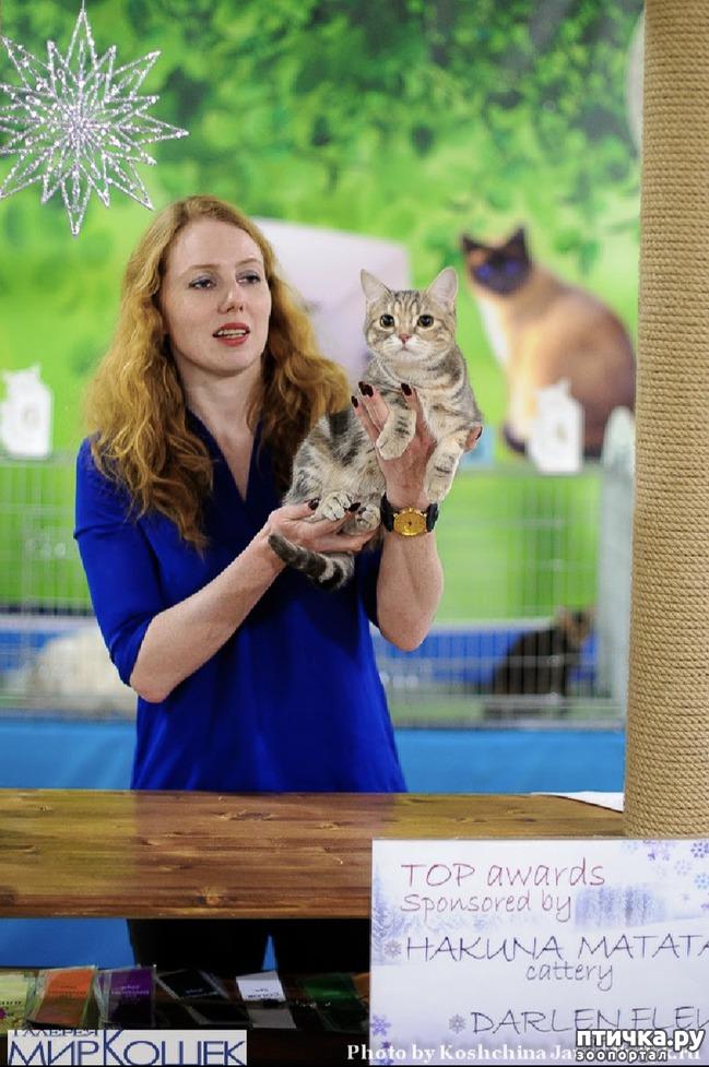 фото 4: Выставка TICA в Галерее Мир кошек 2-3 февраля.