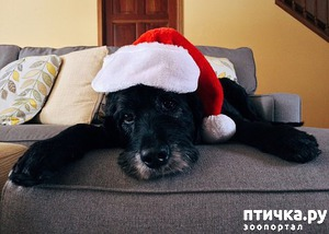 фото: Новогодние праздники и собаки