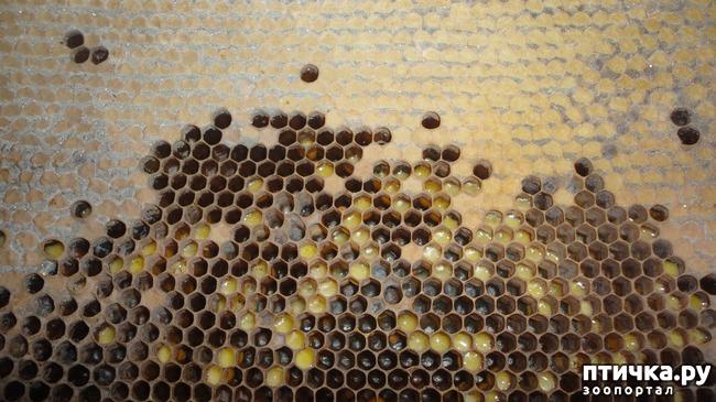 фото 1: Мои пчёлки, пчёлы, пчёлушки!