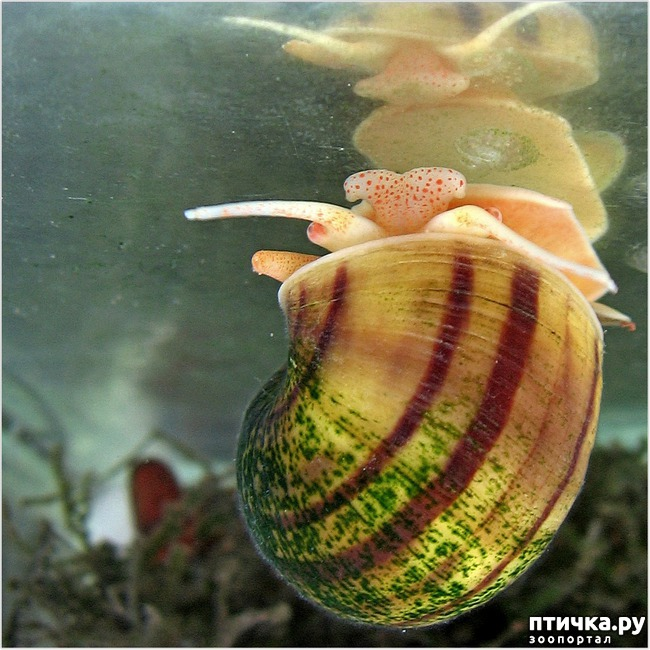 фото 2: Ампулярии в аквариуме.