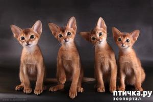 фото: Котята, наверно абиссинские...
