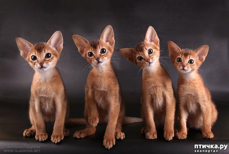 абиссинская котята