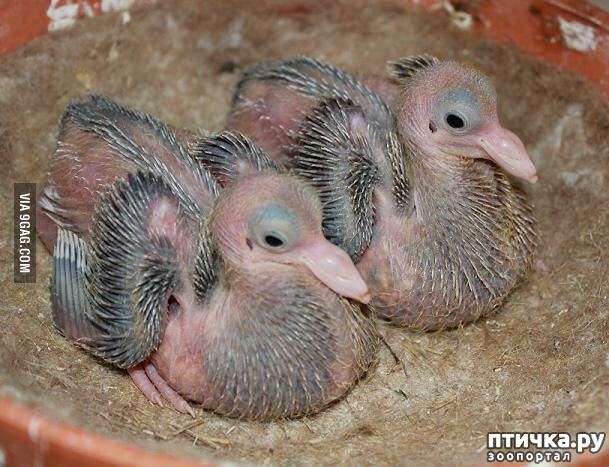 фото 3: Где искать птенцов сизого голубя?