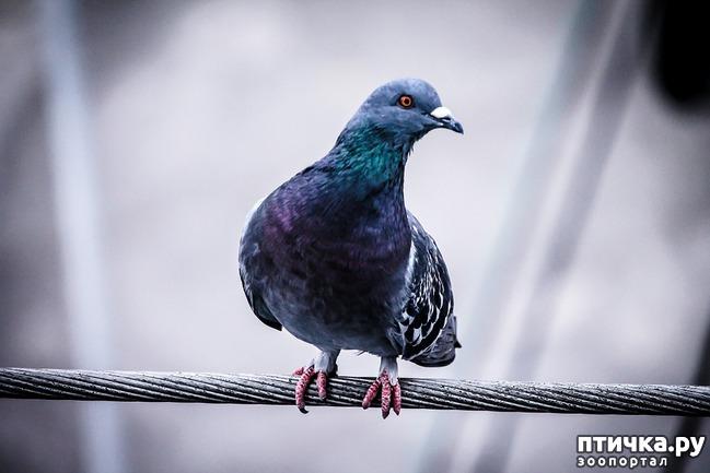 фото 2: Где искать птенцов сизого голубя?